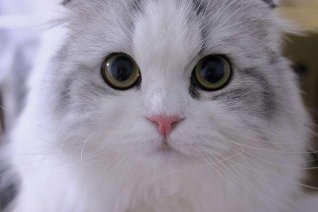 【猫の肥大型心筋症|長生きできるの?】呼吸が荒い・ぐったりしている|もしかすると肥大型心筋症かも?獣医師が最新論文を交えて徹底解説