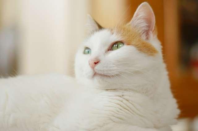 【猫の扁平上皮癌】発生部位(鼻や耳)・治療・余命について獣医師が解説